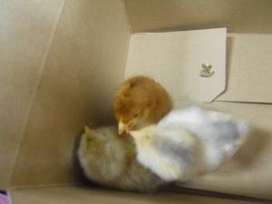 Baby chicks!