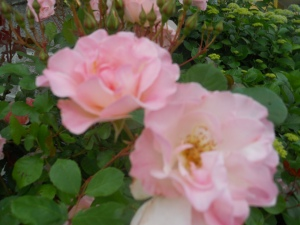 Pale pink roses = grace or joy